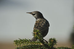 Common starling. Looking for food Royalty Free Stock Image