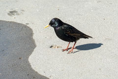 Common Starling in Lyme Regis Stock Photography