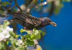 Common starling sits on flowering apple tree with food in beak stock image