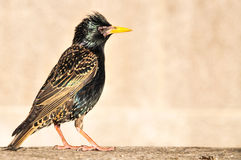 Common Starling profile shot Stock Photo