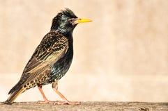 Common Starling profile shot Stock Photo