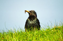 Common starling, Shetland Stock Photography