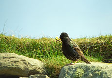Common starling, Shetland Royalty Free Stock Photo