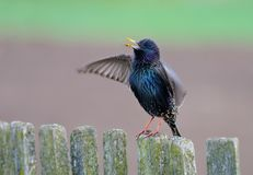 Common starling singing stock image
