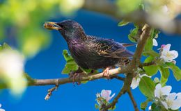 Common starling sits in apple tree branches with beetle for chicks royalty free stock photos