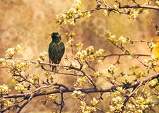 Common starling Stock Images