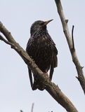 Common Starling sitting on a dead branch. Stock Images