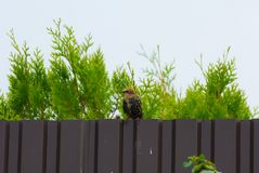 Common starling sitting on the fence on the background of green. Branches of thuja Smaragd Stock Photography
