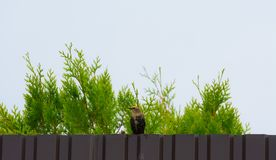 Common starling sitting on the fence on the background of green. Branches arborvitae Smaragd and looking at the camera Royalty Free Stock Photo
