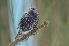 Common starling in spring Royalty Free Stock Image