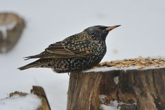Common starling in spring Stock Photos