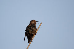 Common Starling (Sturnus vulgaris). A Common Starling (Sturnus vulgaris) sitting on an antenna Stock Photo