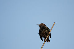 Common Starling (Sturnus vulgaris). A Common Starling (Sturnus vulgaris) sitting on an antenna Stock Photos