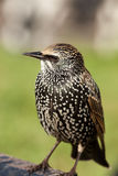 Common Starling, Sturnus vulgaris Royalty Free Stock Image
