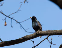 Common Starling (Sturnus vulgaris). Perching on a branch of the tree against the blue sky Royalty Free Stock Photo