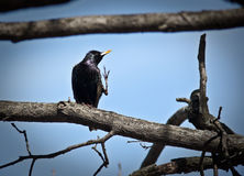 Common Starling (Sturnus vulgaris) Royalty Free Stock Photography