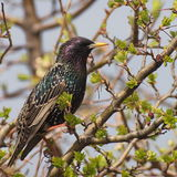 Common Starling, Sturnus vulgaris Stock Photography