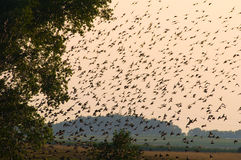 Common starling, Sturnus vulgaris. Very large flock - gather before departure Stock Photo