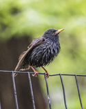 Common starling ,Sturnus vulgaris Stock Photo