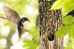 Sturnus vulgaris - Common starling mother, feeding the baby stock photos