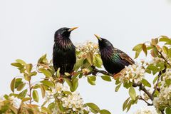 Pair of starlings sitting on a branch of a blossoming apple tree. The common starling (Sturnus vulgaris), also known as the European starling has a Stock Image
