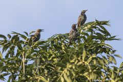 Common starling Sturnus vulgaris. A common starling is searching for fodder Stock Photography