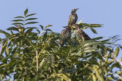Common starling Sturnus vulgaris. A common starling is searching for fodder Stock Photo
