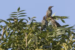 Common starling Sturnus vulgaris. A common starling is searching for fodder stock images