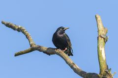Common starling Sturnus vulgaris. A common starling is searching for fodder Royalty Free Stock Images