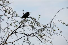 Common starling Sturnus vulgaris. On tree branch Royalty Free Stock Photography