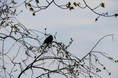 Common starling Sturnus vulgaris. On tree branch Stock Images