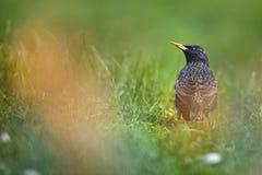 Common Starling (Sturnus vulgaris) Royalty Free Stock Photos