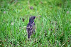 Common starling (Sturnus vulgaris). Common starling in a green grass in the spring day Royalty Free Stock Image