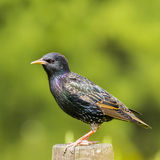 Common Starling - Sturnus vulgaris. Perched on a fence stock photo