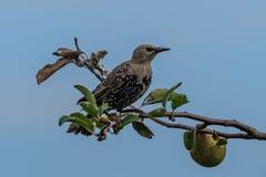 Common starling Sturnus vulgaris. Sitting on a branch royalty free stock photos