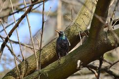 Common starling (Sturnus vulgaris). Common starling sitting on the branch of a tree in a spring day Stock Photo