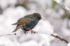 Common Starling - Sturnus vulgaris on a snow covered branch. A colourful Common Starling - Sturnus vulgaris sitting on a snow covered branch in late autumn stock image