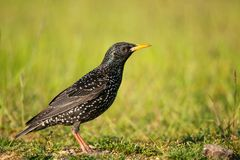 Common starling Sturnus vulgaris stands on the ground on beautiful background. Common starling Sturnus vulgaris stands on the ground on beautiful green Royalty Free Stock Images