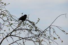 Common starling Sturnus vulgaris on tree branch. Common starling Sturnus vulgaris on the tree branch Royalty Free Stock Images