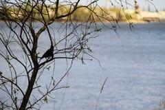 Common starling Sturnus vulgaris on tree branch. Common starling Sturnus vulgaris on the tree branch Stock Image