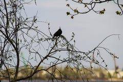 Common starling & x28;Sturnus vulgaris& x29; on tree branch. Common starling & x28;Sturnus vulgaris& x29; on a tree branch stock photography