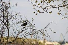Common starling Sturnus vulgaris on tree branch. Common starling Sturnus vulgaris on a tree branch Stock Images