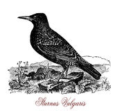 The common starling Sturnus vulgaris, vintage engraving Royalty Free Stock Photos