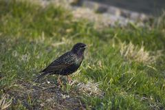 Common Starling (Sturnus vulgaris vulgaris). Common Starling on a ground Stock Photography