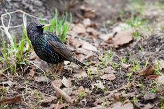 Common starling Sturnus vulgaris walking in garden, first spring grass sprouts and dried leaves background. Beautiful. Black pattern feather plumage bird Royalty Free Stock Photography