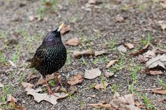 Common starling Sturnus vulgaris walking in garden, first spring grass sprouts and dried leaves background. Beautiful. Black pattern feather plumage bird Stock Photography
