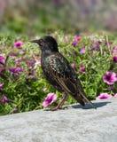 Common starling Sturnus vulgaris walking in garden pink flowers background. Beautiful black pattern feather plumage bird. Common starling Sturnus vulgaris Stock Photography