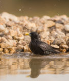 Common Starling taking a bath Stock Photos