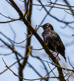 Common Starling on a tree branch Royalty Free Stock Photography