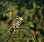 Common Starling in winter plumage. In English garden Stock Photography